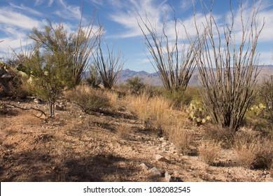 Ocotillo Cactus Growing Wild in the Sonora Desert - Arizona