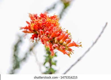 Ocotillo Cactus with Red Flowers
