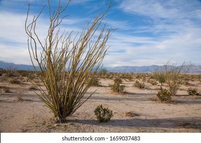 Ocotillo dersert plant in Anza Borrego Desert, Californian