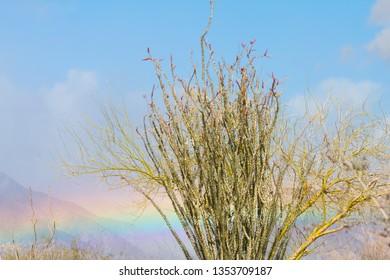 Ocotillo in Dessert with Rainbow