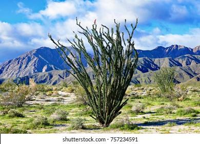 Ocotillo in February, Anza Borrego Desert, California