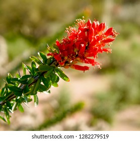 Ocotillo flower in the Sonoran Desert during a Spring Bloom.