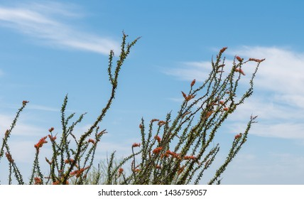 Ocotillo Flowers in Bloom in Blue Sky