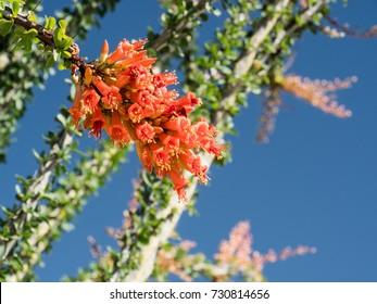 Ocotillo flowers, Ocotillo Patch in the Pinto Basin, Joshua Tree National Park, California, USA