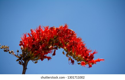 Ocotillo, Fouquieria splendens, blooming in the spring sunshine of the Sonoran Desert In Arizona.