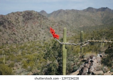Ocotillo Plans in Spring of Arizona