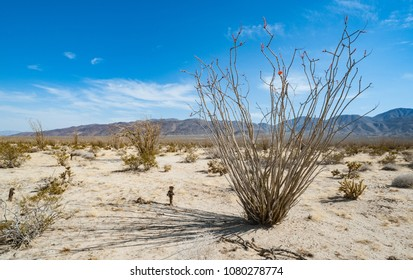 Ocotillo plant in Anza-Borrego State Park desert in the California