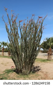 Ocotillo plant, Fouquieria splendens, in the California desert on a sunny day with blue skies.