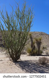 Ocotillo Plant (Fouquieria splendens) with Yucca plants in the background. Western United States.