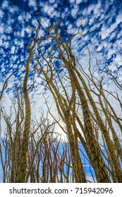 Ocotillo plants in the California Mojave desert with vibrant sky