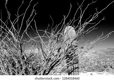 Ocotillo and saguaro cactus in black and white