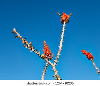 Ocotillos flowers on a blue sky