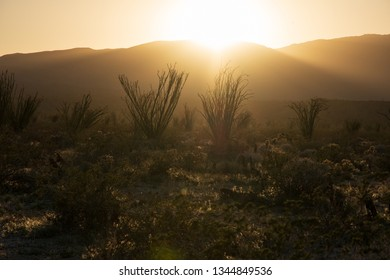Ocotillos in Sunset at Anza-Borrego Desert State Park