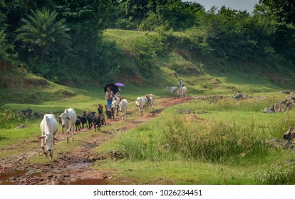 October 12,2016. Shepherd with his cows are travelling in Ranchi, Jharkhand, india.