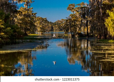 OCTOBER 14, 2018 - Lafayette, Louisiana, USA - White Egret flies in Cajun Swamp & Lake Martin, near Breaux Bridge and Lafayette Louisiana