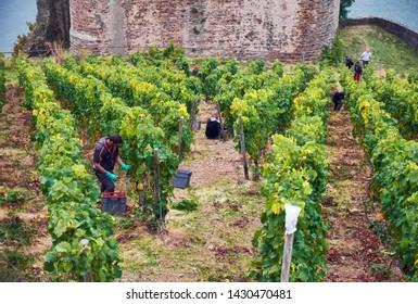 October 2016, Rudesheim am Rhein, Germany - people are harvesting wine grapes on a vineyard on hill of Hesse Land under walls of medieval castle Rhine Burg Ehrenfels