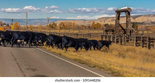 OCTOBER 2017, Ridgway, Colorado: Cattle cross Highway 550 N of Ridgway on cattle drive to Centennial Ranch, San Juan Mountains, Colorado