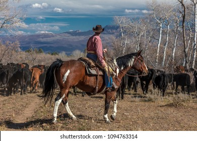 OCTOBER 2017, Ridgway, Colorado: Cowboy on Cattle Drive Gather Angus/Hereford cross cows and calves of Double Shoe Cattle Company, Centennial Ranch, San Juan Mountains