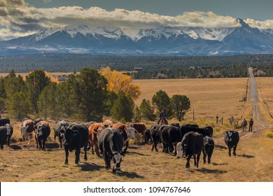 OCTOBER 2017, Ridgway, Colorado: Cowboys on Cattle Drive Gather Angus/Hereford cross cows and calves of Double Shoe Cattle Company, Centennial Ranch, San Juan Mountains