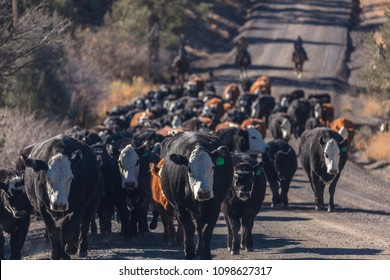 OCTOBER 2017, Ridgway, Colorado: Cowboys on Cattle Drive Gather Angus/Hereford cross cows and calves