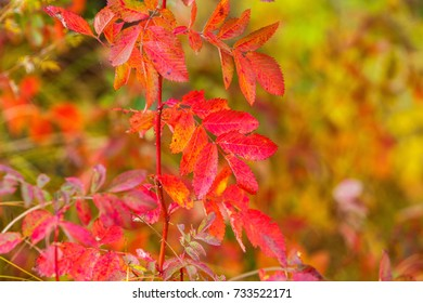 October colors of red leaves and yellow leaves