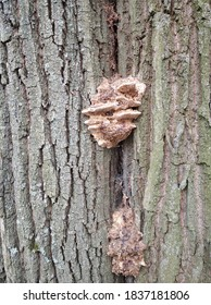 October day in the park. Tinder fungus (oak sponge) on a tree trunk. Close-up.