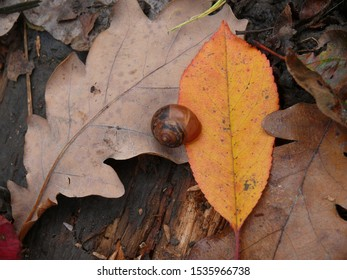 October still life with a shell house without a snail, but on the oak and cherry leaves on an old rotten board.