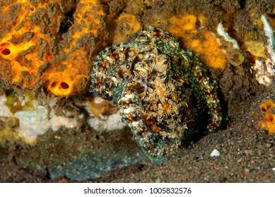 Octopus, Amphioctopus marginatus, Bali Indonesia.