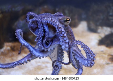 Octopus in an aquarium, closeup view