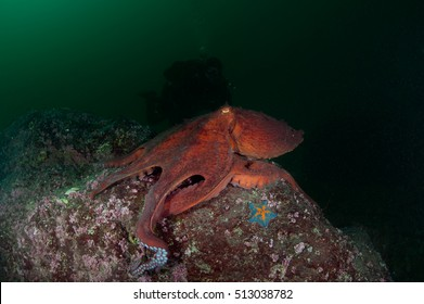 octopus in the deep sea
