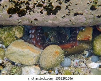 Octopus hiding beetween rock and shells