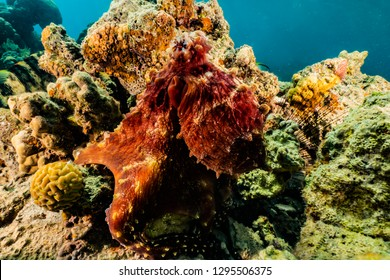 Octopus king of camouflage in the Red Sea, eilat israel