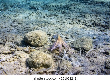 An octopus on the seabed in Aegean sea