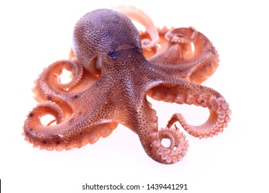 Octopus on a white background