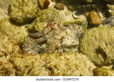 Octopus resting closely between two rocks in a shallow rock pool