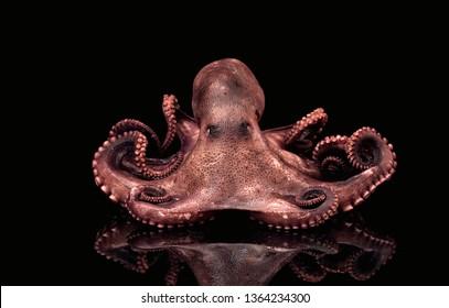 Octopus seafood tentacles animal fish