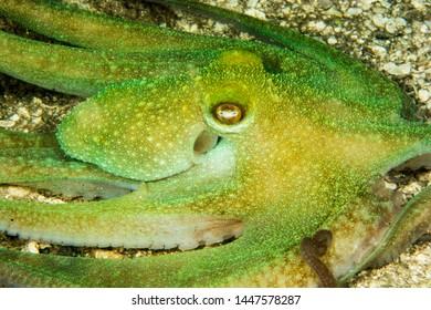 Octopus swimming in Belize underwater