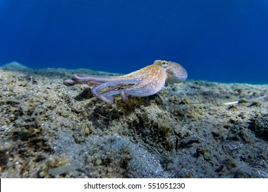 An octopus swims to the bottom of sea