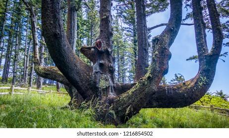 Octopus Tree Trail, Oregon, USA