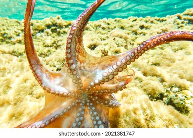 Octopus (Octopus vulgaris Cuvier, 1797) or octopus is a cephalopod of the Octopodidae family at sea.Octopus swims free in the sea