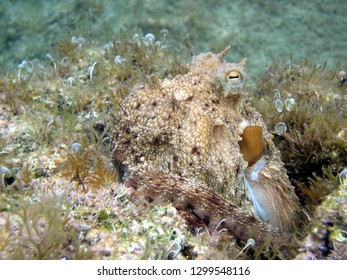 octopus vulgaris in his own natural habitat shows the particular mimetic capacity to adapts color and even shape of its skin according to the place in which it is