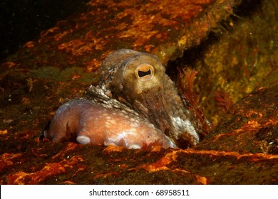Octopus (Octopus vulgaris) on the wreck of the River Gurara, Sesimbra, Portugal.
