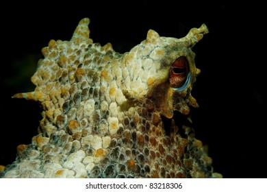 Octopus (Octopus vulgaris) in Sesimbra, Portugal
