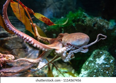 Octopus (Octopus vulgaris), a soft-bodied, eight-armed mollusc grouped within the class Cephalopoda with squids, cuttlefish and nautiloids, in an aquarium