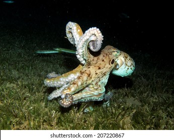 An octopus's reaction to being attacked by a territorial damselfish at dusk