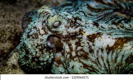 Octupus in Roatan Under water photo