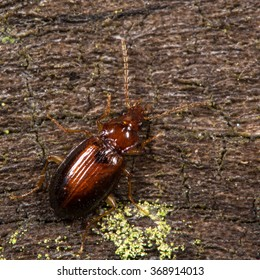 Ocys harpaloides beetle. A fairly small and common ground beetle in the family Carabidae, on dead wood  - Shutterstock ID 368914013