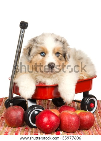 Odd eyed merle Australian Shepherd pup sitting in red wagon, on white background