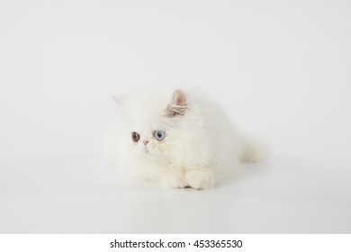 odd eyed white persian kitten cat laying on white background