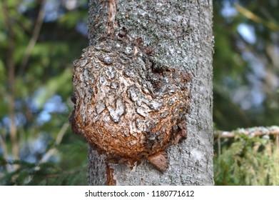 An odd shaped decease on a tree